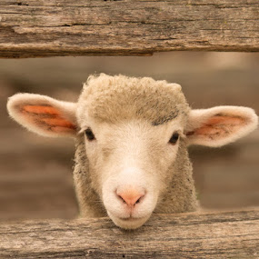 Hanging Out by April Brown - Animals Other Mammals ( farm, fence, sheep, lamb, animal )