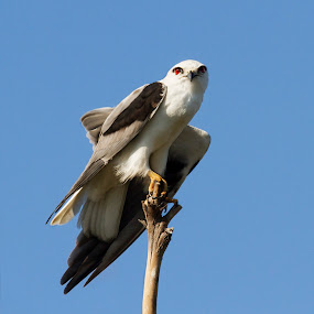Black-winged Kite by Erica Siegel - Animals Birds ( bird, bird of prey, black-winged kite, kite, raptor )