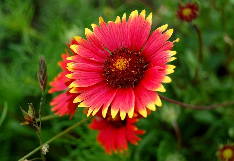 Texas Wildflower by Karen Tawater - Nature Up Close Flowers - 2011-2013 ( red, wildflower, dof, close-up, flower )