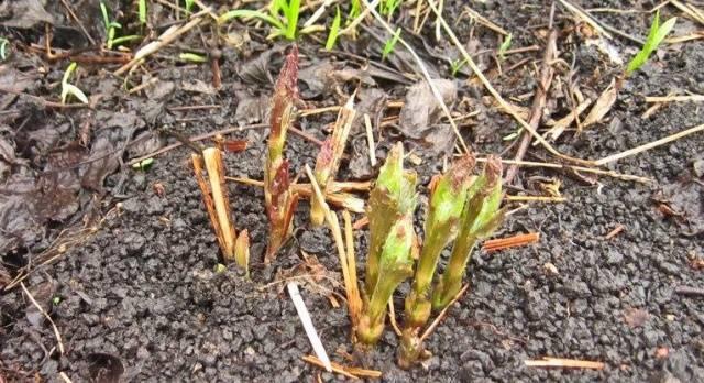 Подкормка клематисов (ломоносов) весной