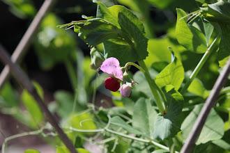 Photo: Charlevoix pea (soup pea) bloom