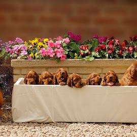 Mum & Grandmother with there 5 week pups by Ken Jarvis - Animals - Dogs Puppies ( puppies, cute puppy, irish setter, dog portrait, irish )