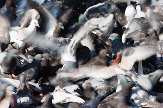 Photo: Pigeon frenzy. Athens, Greece