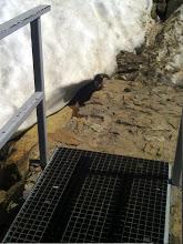 Photo: Marmota entre el suelo y el nevero
