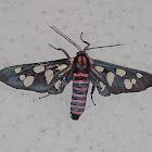 Indian Wasp moth