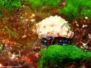 Photo: #019-Bernard l'Ermite à pattes bleues (photo de Gérard)