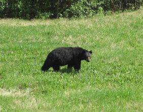 Photo: Bu Black bear.