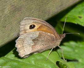 Photo: Meadow Brown Butterfly Lower Healey 22.07.12