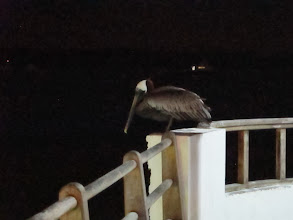 Photo: Heron watching for a meal from the pier