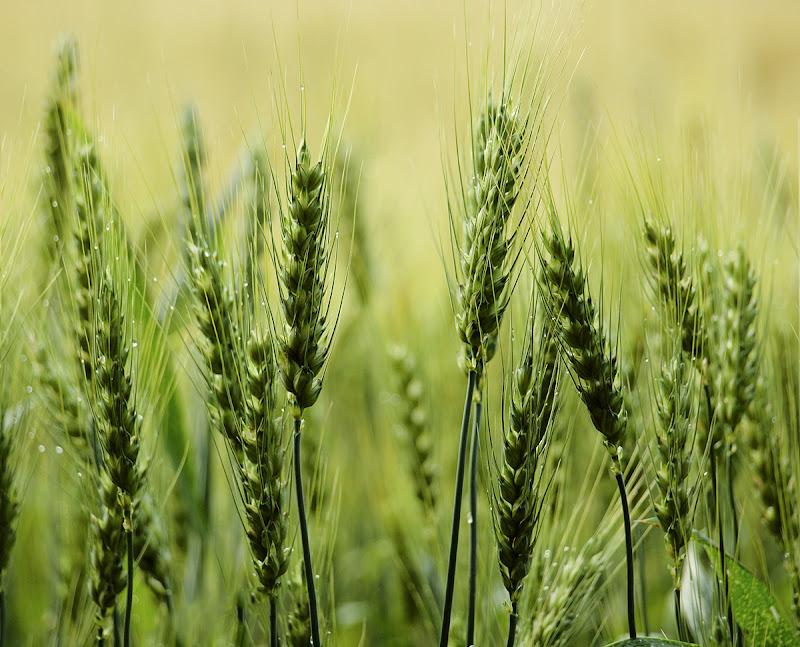 campo di grano di utente cancellato