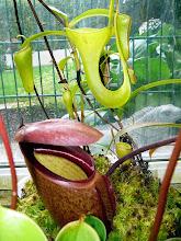 Photo: Nepenthes rajah (unten) und Nepenthes inermis