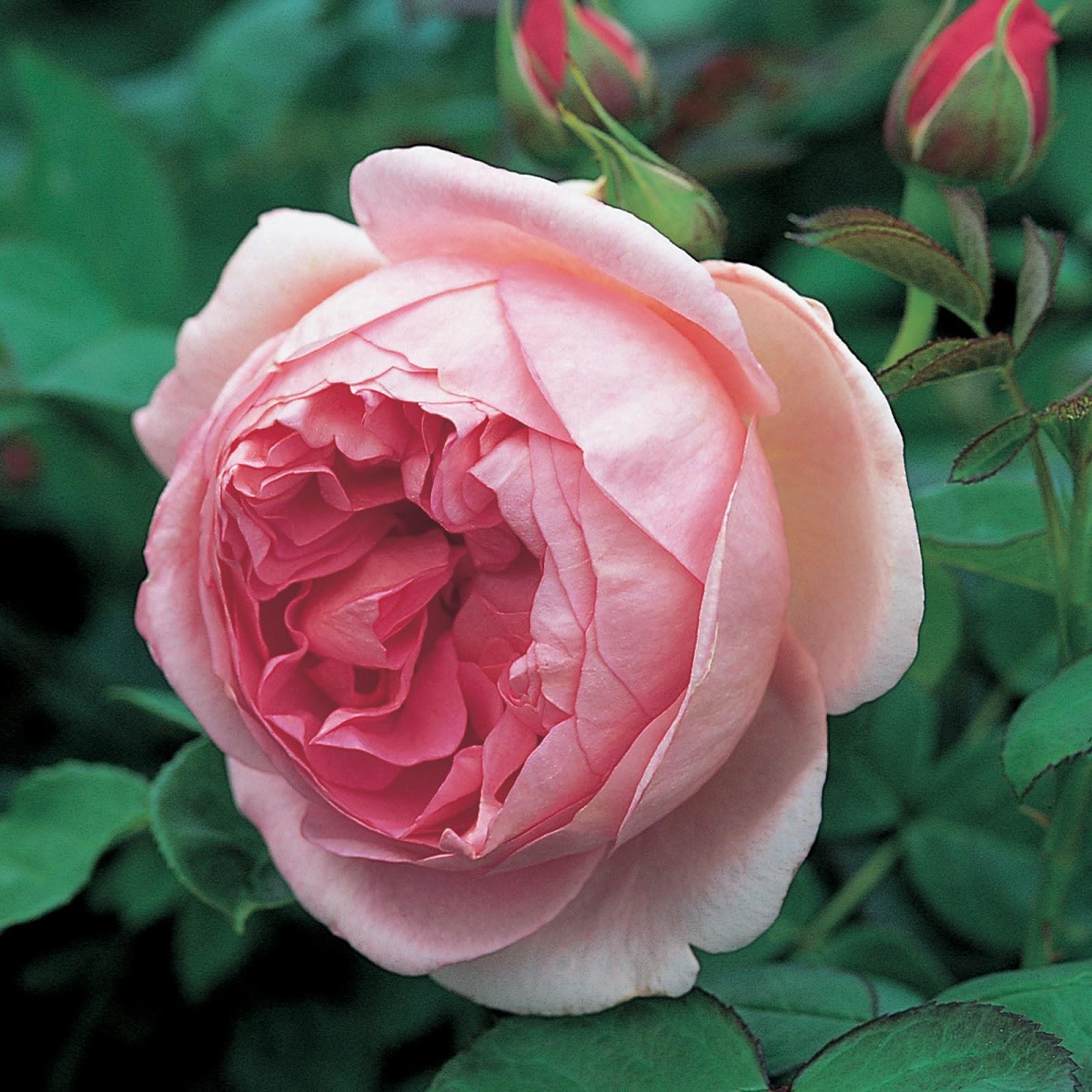 клаймбер роза HERO