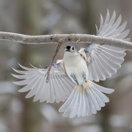 Titmouse by Carl Albro - Animals Birds ( bird, flying, branch, titmouse )