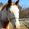 Horse (American quarter horse)