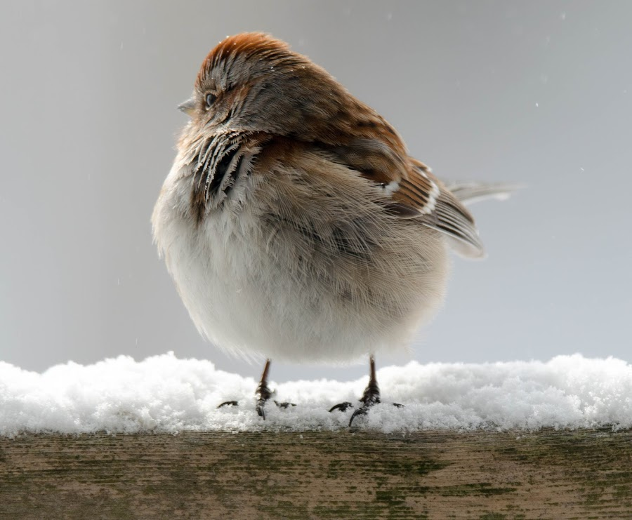 Fluffed up against the cold by Wilma Michel - Animals Birds ( winter, fluffy, cold, feathers, sparrow )