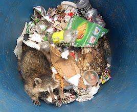 Photo: Sad little raccoon in the trash - corner 3
