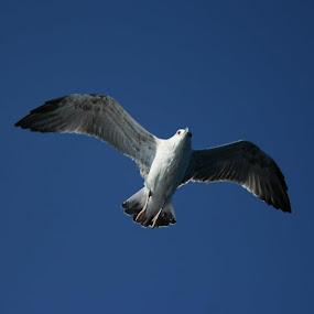 Galeb by Pancho Sastre - Animals Birds