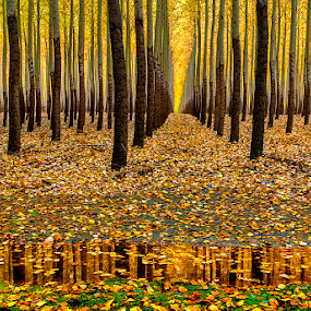Trees and reflection  by Charles Knowles - Landscapes Forests ( farm, nature, poplar, tree, autumn, agriculture )