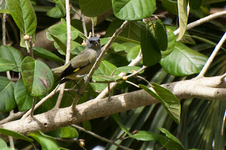 Photo: Yellow-winged Tanager (Abttangare); Chacchoben, QROO