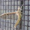 Small Minnow Mayfly