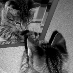 kitten in mirror by Gordana Djokic - Animals - Cats Kittens ( mirror, kitten, cat, cute, animal )