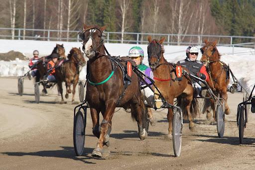 Päätöskohteessa on mukana 14 suomenhevosta. Toto4-peli ajetaan normaalisti lähdöissä 2-5 ja troikka lähdössä 5. Kolmannen lähdön jälkeen on 10 minuutin verryttelyaika loppulähtöjen hevosille. Kuva: Merja Ahola-Turpeinen