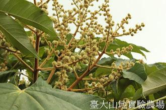 Photo: 拍攝地點: 翠峰-停車場 拍攝植物: 蓪草 拍攝日期:2012_10_30_FY