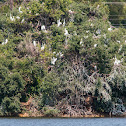 Great white egrets roosting (with blue heron)