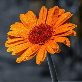 Orange bloom by Janez Šturm - Flowers Single Flower ( drops, bloom, one, wet, orange bloom )
