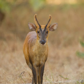 Barking Deer by Atul Dhamankar - Animals Other Mammals ( animals, nature, jungle, wildlife, india, tadoba, forest, atul dhamankar )