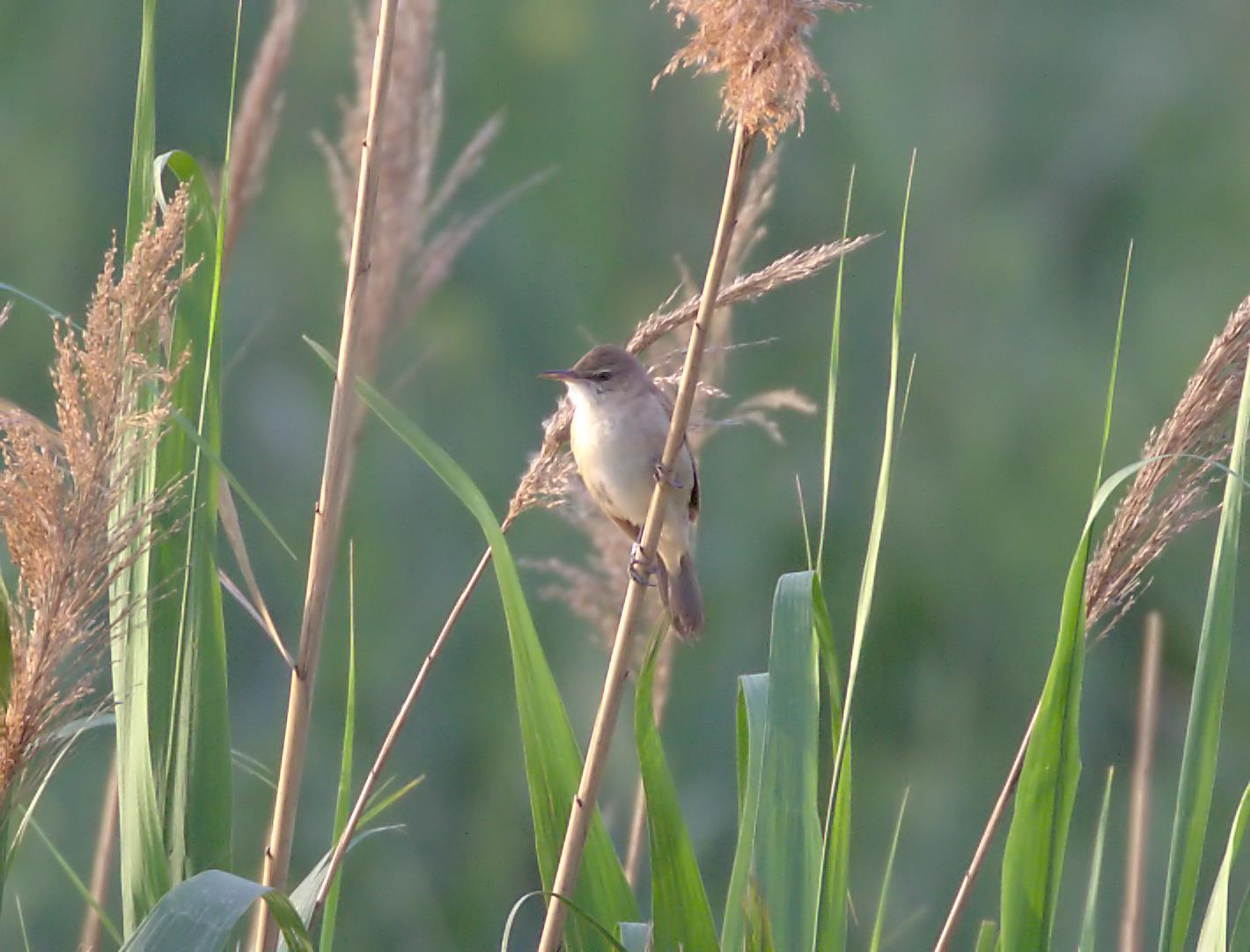 clamorous reed warbler_rsz.jpg