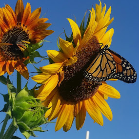 by LuAnne Smith Holjes - Flowers Flowers in the Wild ( #bee, #bloom, #sunflower )