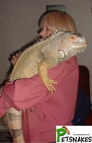 Full-Grown Iguana