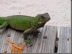 iguana-big