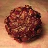 Malay Earth Fig