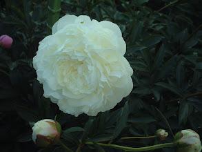 Photo: 信濃の雪 白花種の中でも遅咲きで最強健種・中大輪咲き