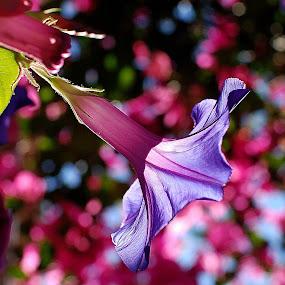 Translucent purple flower by Pixie Simona - Flowers Single Flower ( purple, purple flowers, translucent, purples, flowers, semitransparent, flower, purple flower,  )