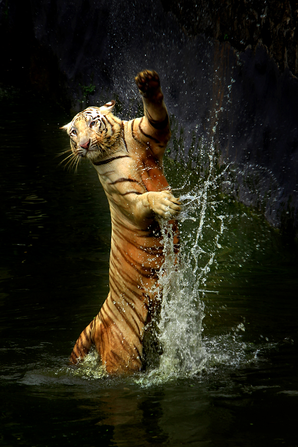 Here I am by Jeffry Surianto - Animals Lions, Tigers & Big Cats ( tiger )