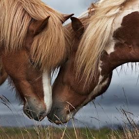 Friendly Nearness by Bragi Ingibergsson - Animals Horses ( animals, iceland, nature, horses, brin, bragi j. ingibergsson )