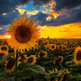 Sunflowers Under Storm Clouds by Kendra Perry Koski - Flowers Flowers in the Wild ( canon, dakotawindsphoto.com, 2014, sunflower, south dakota, storm clouds, yellow, farming, field, sunburst, blue, kendra perry-koski, flowers, dakota winds photography, , #GARYFONGDRAMATICLIGHT, #WTFBOBDAVIS )