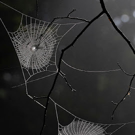 by Siniša Almaši - Nature Up Close Webs ( depth, light, web, nature, contrast, up close, spider, branch )