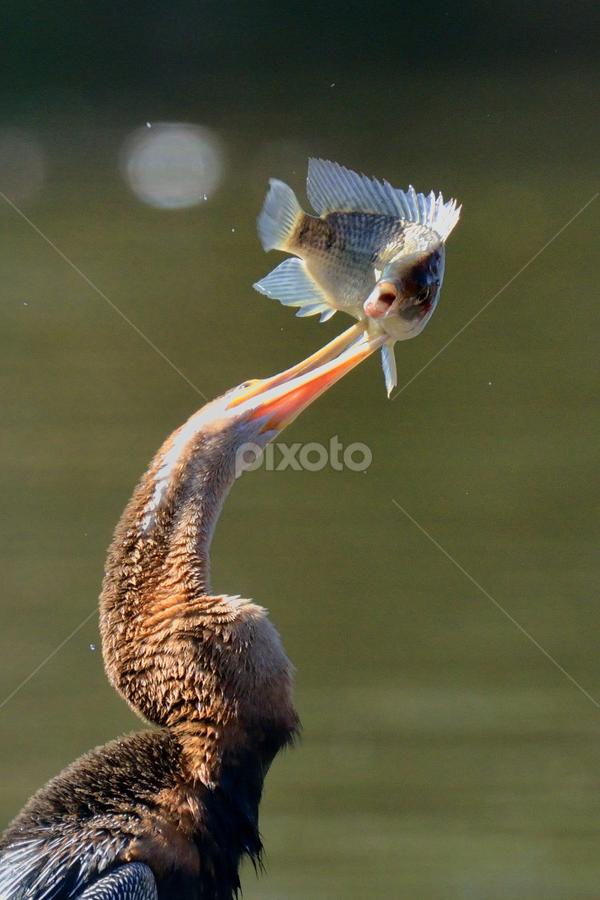African Darter with prey by Tobie Oosthuizen - Animals Birds ( aug 2013, kruger national park, african darter )