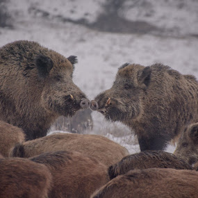 Second before the fight by Adrian LUPSAN - Animals Other ( wildboar, moment,  )