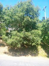 Photo: Another beautiful oak tree.