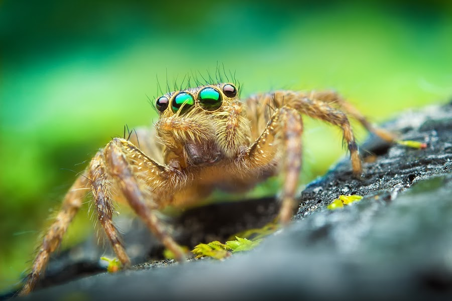Little jumper by Sameeran Nath - Animals Insects & Spiders ( macro, spiders, nature, colorful, jumping spider, background, f/16, 430exii, 50mm, spider, india, sameeran nath )