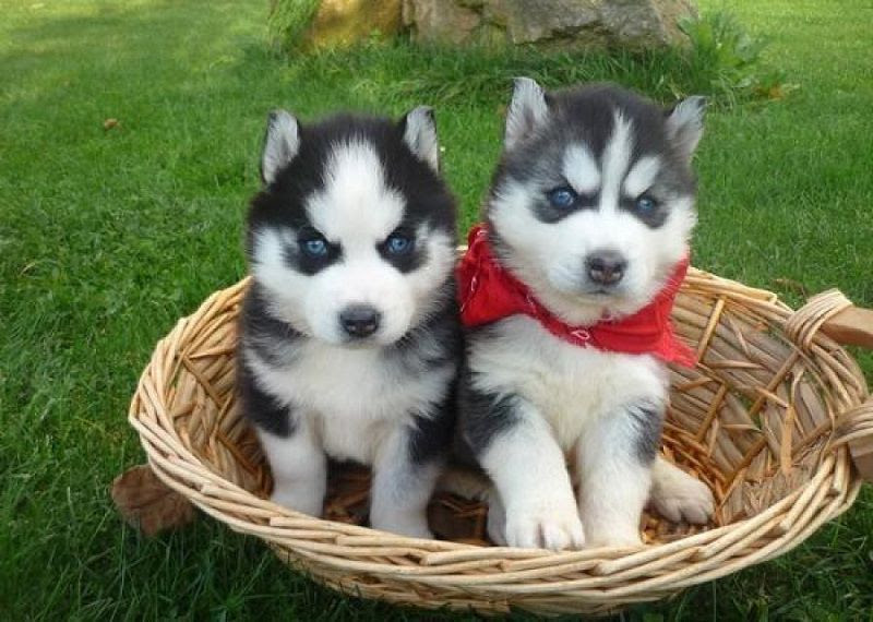 Siberian Husky Price Range How Much Does A Husky Puppy Cost