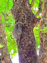 Photo: a Malayan flying lemur hanging onto the trunk of a tree
