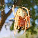 Tropical orb weaver