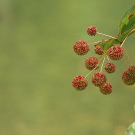 by Tammy Drombolis - Nature Up Close Other plants ( bush, plant, jacks fork, river, missouri,  )