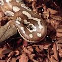 Brongersma's Short-tailed Python